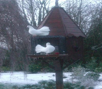 Fan tailed pigeons